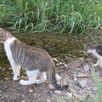 子猫に川の渡り方を教える母猫