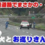 高速道路で犬を追いかける交通機動隊員