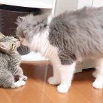 保護ネコと先住ネコの初体面の様子