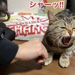 昼寝を妨害されて怒られたことに逆ギレする猫