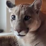 家猫のような優しい顔をしたピューマ