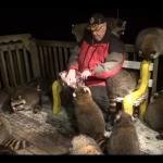 アライグマに餌を与える男性