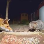 猫の餌を狙うキツネと戦う猫